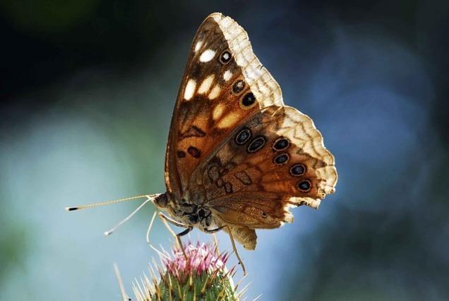 emperor-butterfly-805437_640