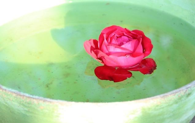 rose-983084_640