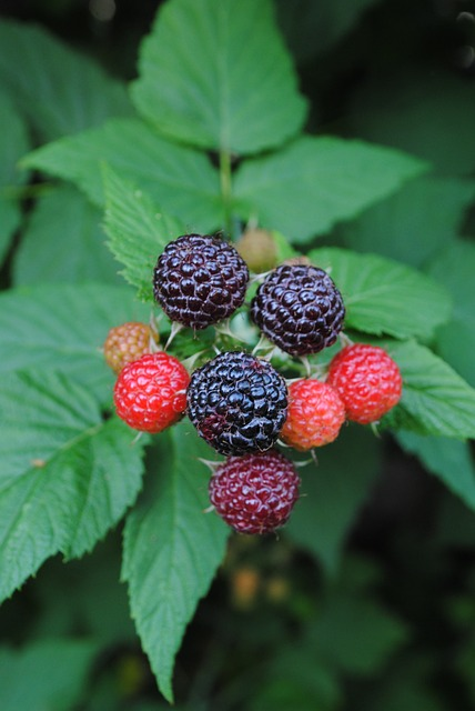 blackberries-846895_640