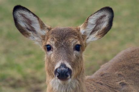 deer-2221546_640