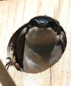 tree-swallow-541186_640